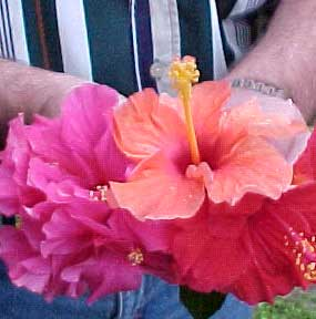 assorted hibiscus flowers