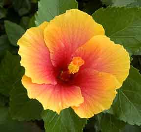 bright two tone hibiscus flower