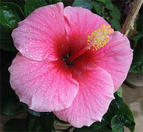 bright pink hibiscus flower with water drops