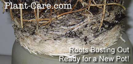 vigorous plant root system