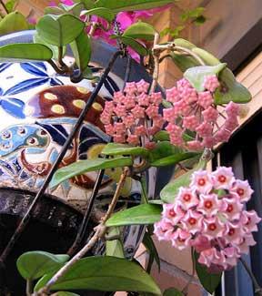 http://images.plant-care.com/hoya-flower.jpg