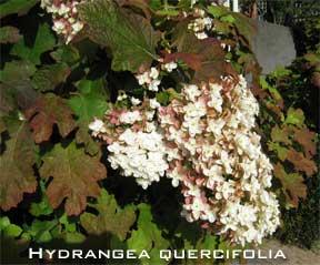 Blooming oakleaf hydrangea
