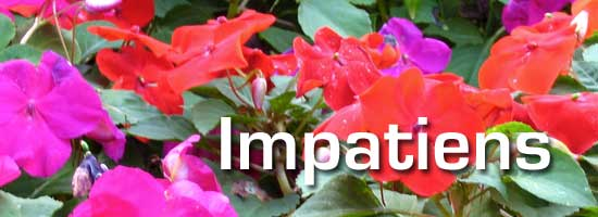 colorful impatiens in flower