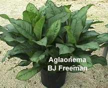 Aglaonema BJ Freeman