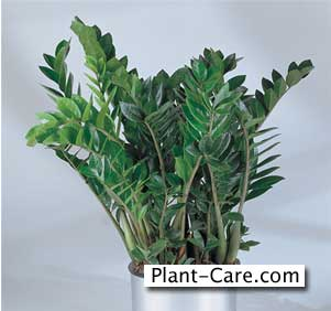 zz plant - one tough indoor house plant