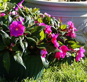 modern impatiens hybrids in the landscape