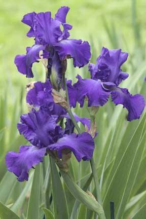 Bearded purple iris