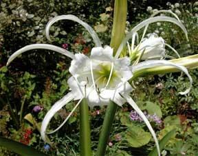 Ismene or Peruvian Daffodil