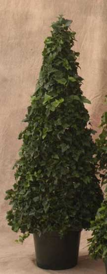ivy topiary