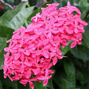 Ixora Nora Grant flowering