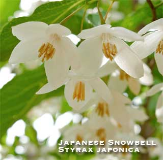 Flowering Japanese Snowbell - Styrax japonica