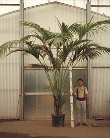 kentias are excellent slow growing indoor palms