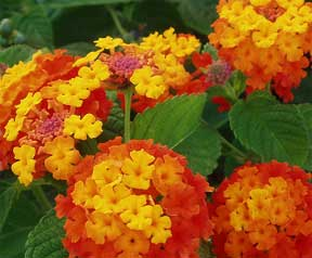 orange lantana blooms