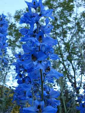 colorful blue blooming larkspur