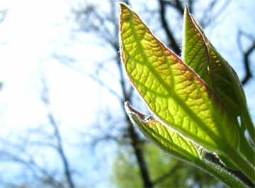 leaf sun and photosynthesis