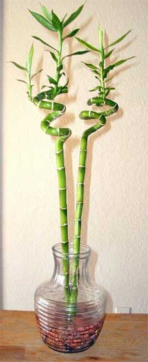 lucky bamboo 2 stems in vase