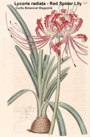 bloom of Lycoris radiata Curtis Botanical magazine