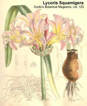 lycoris squamigera from Curtis Botanical Magazine Vol 123 - 1897