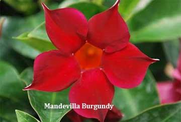 mandevilla burgundy