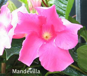 mandevilla vine for landscape color and covering