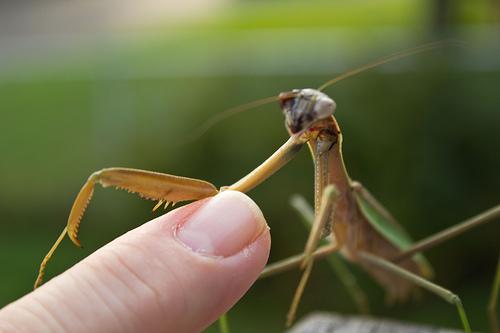 praying mantis climbing on finger