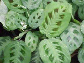 maranta leuconeura the prayer plant