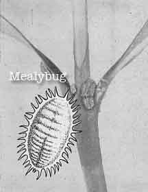 mealy bug drawing