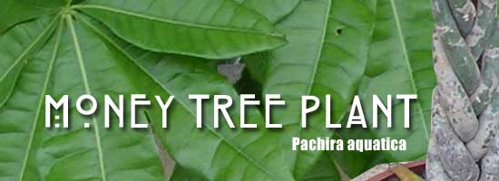 money tree plant Pachira aquatica