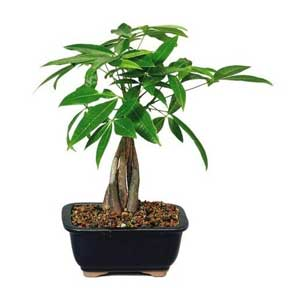 bonsai money tree