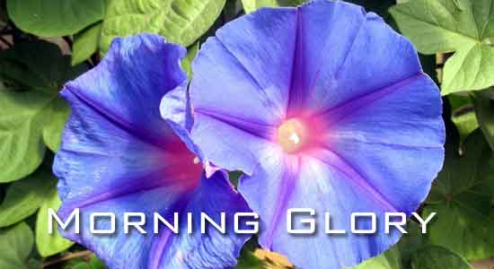 colorful morning glory