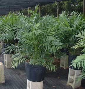 14 inch Neanthe Bella or Parlor Palm