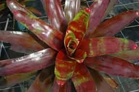 neoregelia plant