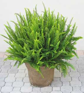 new boston fern emerald queen