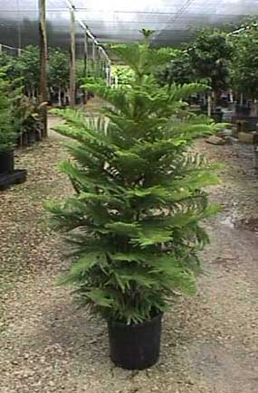 Norforlk Pine