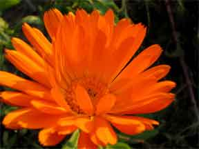 colorful orange aster