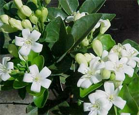 lakeview orange jasmine