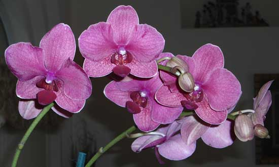 orchids are attractive gift plants with flowers