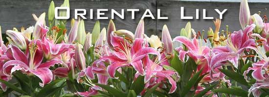 blooming Orinetal lilies