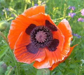 Colorful Oriental poppy up close