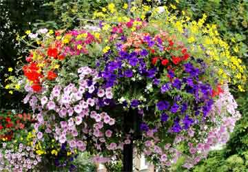 basket of assorted petunias