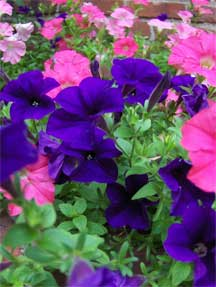 purple pink petunias