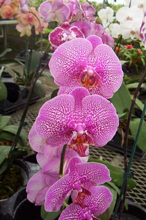 moth orchid in full flower