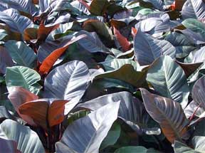 black cardinal hybrid philodendron
