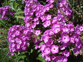 Phlox brightens rock gardens