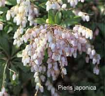 Pieris japonica Japanese Andromeda