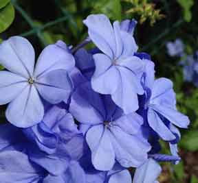 Plumbago flower up close