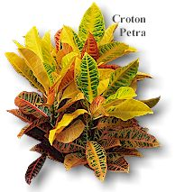 crotons colorful plant option potted or planted