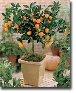 potted calamondin a citrus grown as a house plant and patio plant
