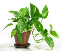 potted pothos for desk