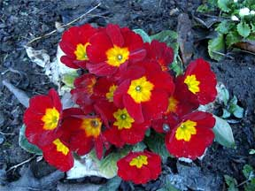 Red primula blooming in the landscape